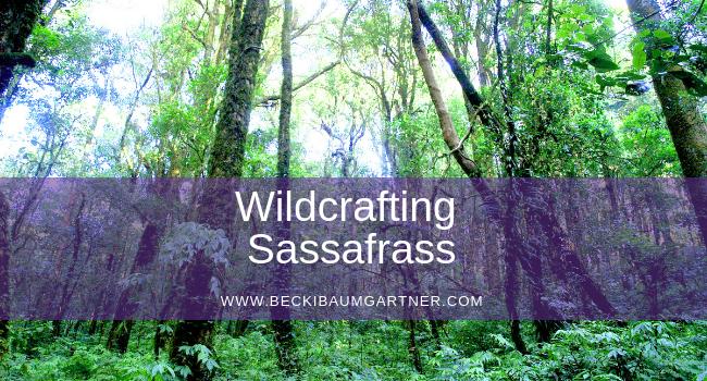 Wildcrafting Sassafras (Sassafras albidum)