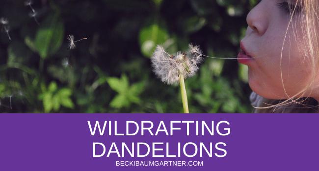 Wildcrafting Dandelions in Your Backyard Graphic